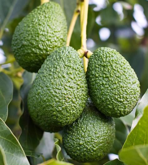 avocado siciliano 4